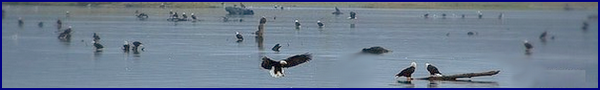 The Importance of the Chehalis-Harrison River Salmon Runs, to Bald Eagles
