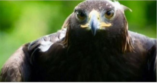 $15,000 golden eagle stolen in Ontario is 'not very friendly,' handler warns