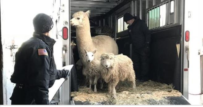 26 farm animals rescued from freezing temperatures in Massachusetts in need of new home