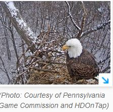 After collapse future of Hanover eagles' nest remains to be seen
