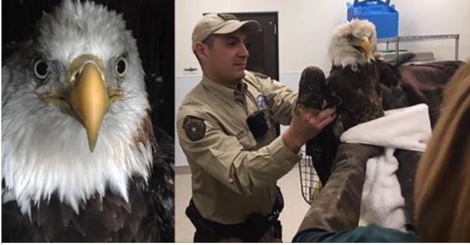 American bald eagle rescued from trampoline net in Cypress