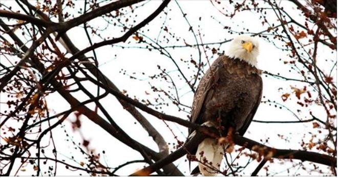 Bald eagles are returning to the Q-C
