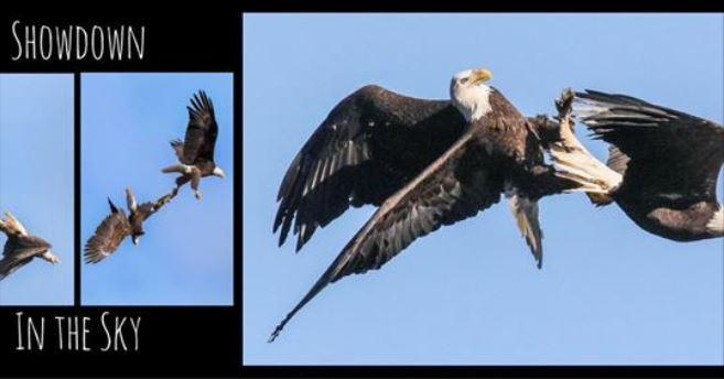Bald Eagles Duel over a fish at Lake Junaluska