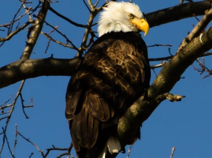 Bald Eagles Nesting Pair Reported Near Bridgewater