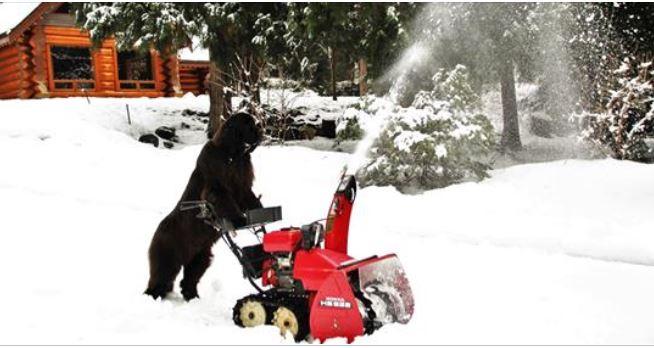 Bet your pet can't do this. Meet Morgan, B.C.'s snow shoveling dog