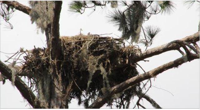 Bradenton bald eagle electrocuted