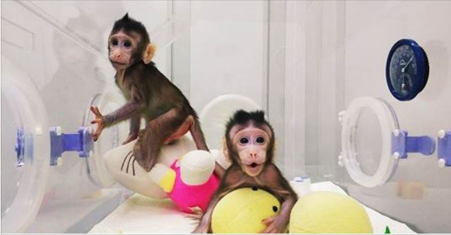 Chinese scientists clone monkeys, bringing them one step closer to cloning humans