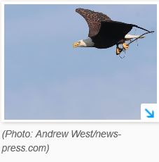 Harriet, Southwest Florida's famous bald eagle, lays new egg