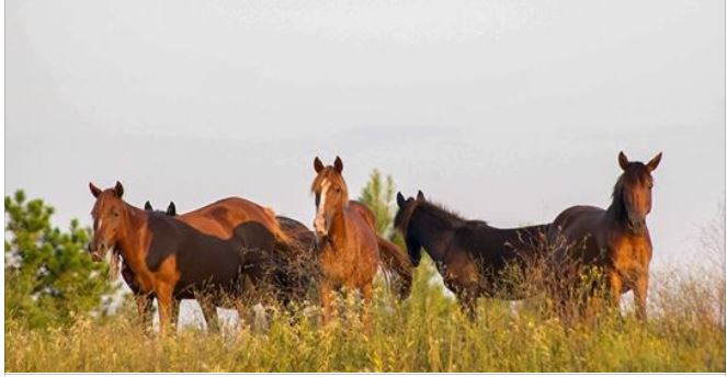 Motion filed to stop Army's illegal seizure of horses & slaughter plan in Louisiana