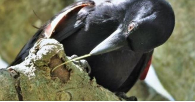 New Caledonian crows extract prey faster with complex hooked tools