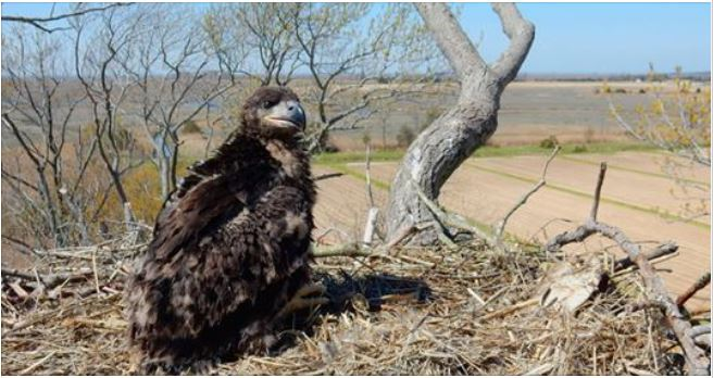 N.J. bald eagle population still growing, but competition's up, too