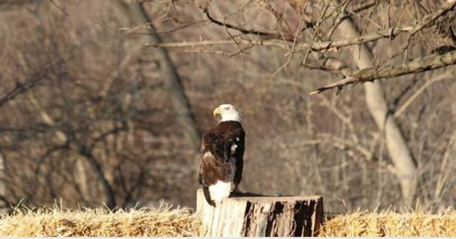 One-winged bald eagle named Mr. America lands at Detroit Zoo