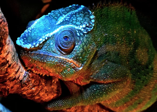 Chameleons' secret glow comes from their bones