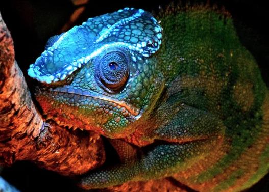 Chameleons' secret glow comes from their bones