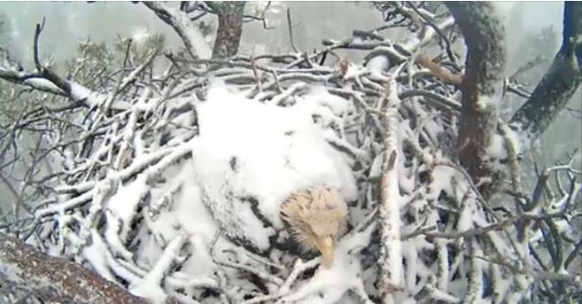 Snow covers expectant bald eagle sitting on eggs in nest near Big Bear Lake