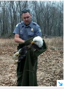 Foot caught in steel trap, Stockton Lake bald eagle catches a lucky break
