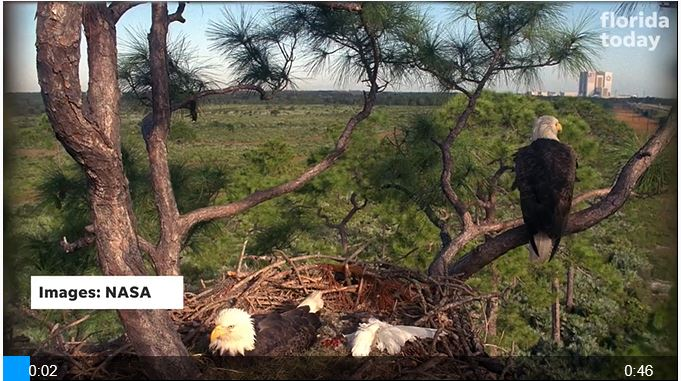 The tree supporting KSC's famous bald eagle nest has died