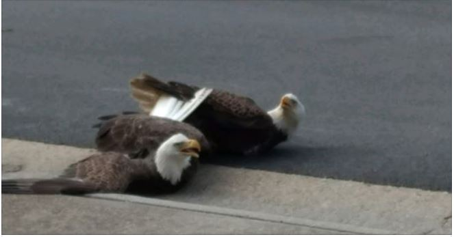Two Bald Eagles land in Suffolk woman's front yard