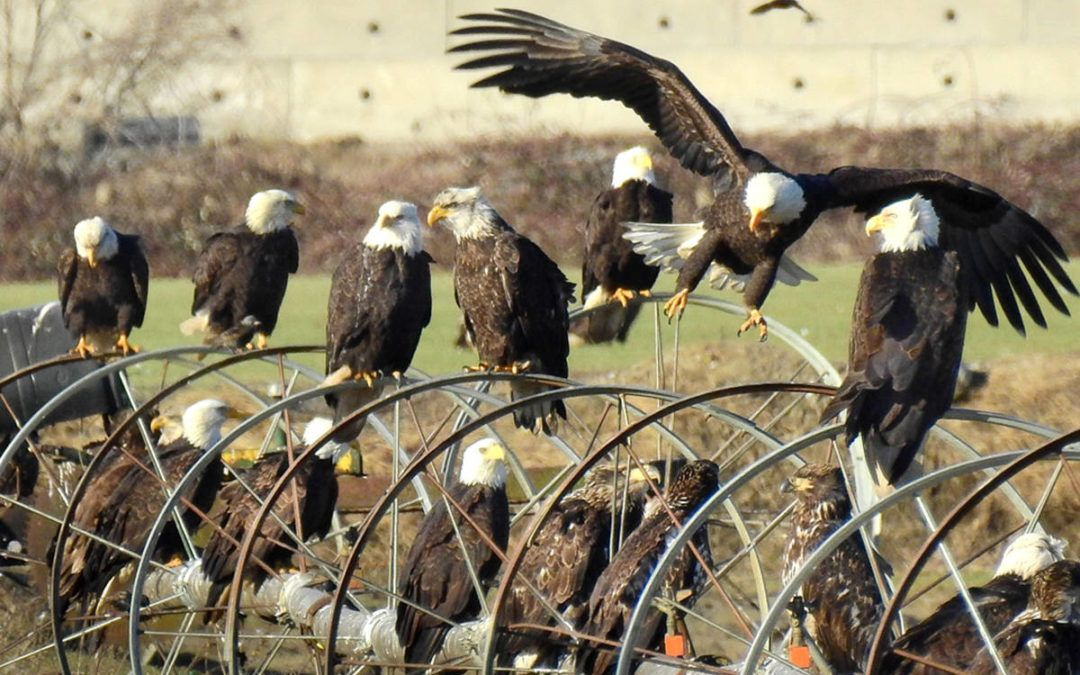 Fraser Valley eagles outfitted with tracking system