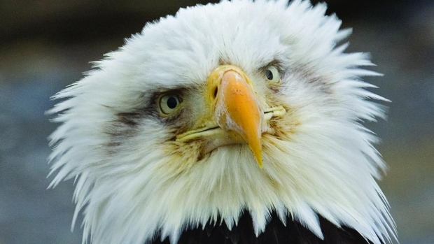 Planes, webcams, solar-powered trackers: All the ways to watch an eagle