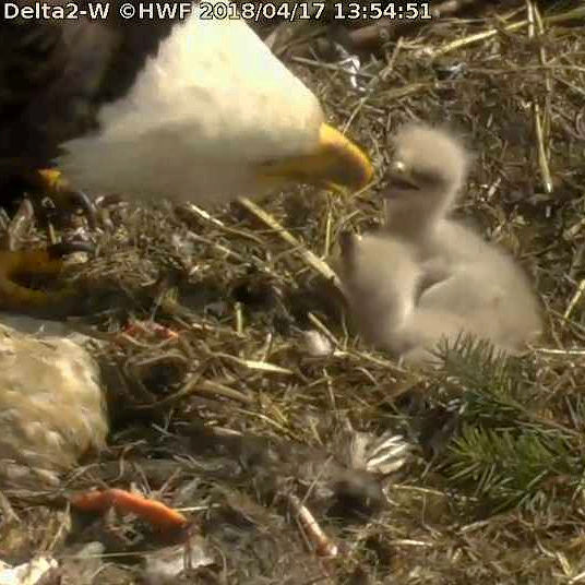 Parent feed week-old Delta 2 eaglets