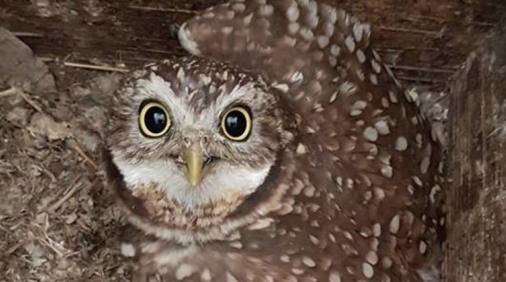 Nearly 100 juvenile burrowing owls take first steps into the wild