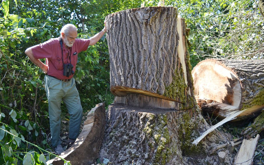 Prominent B.C. eagle nesting tree cut down