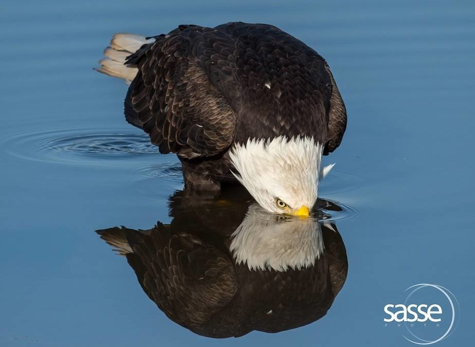 Bald Eagles and Their Local Habitat