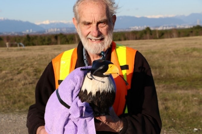 David Hancock with trapped adult bald eagle about to receive a gps tracker.