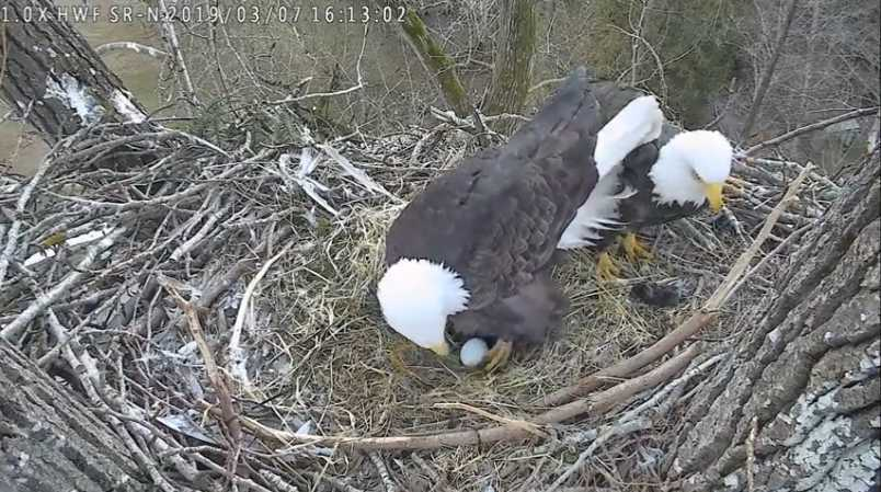 Our Artificial Nest in the City of Surrey Bald Eagle Reserve – with the pair exchanging incubation duties.