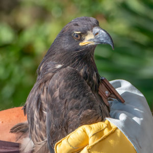 Fledgling eagle TERF13